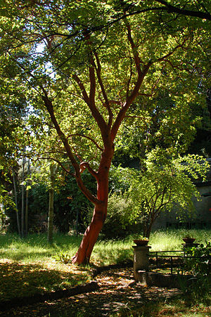 Arbutus andrachne - Tree of Arbutus andrachne at Orto Botanico dell'Università di Genova