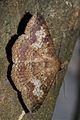 Ericeia amanda (Erebidae- Erebinae- Hulodini) (6564970329).jpg