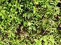 Erigeron karvinskianus-2-chemungi-kerala-India.jpg
