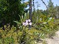 Eriodictyon californicum.jpg