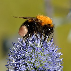 Eryngium alpinum - Flowers of Eryngium alpinum attract honeybees and bumblebees; here with tree bumblebee