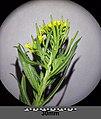 Erysimum cheiranthoides sl8.jpg