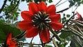 Erythrina subumbrans (Hassk.) Merr. inflorescence.jpg