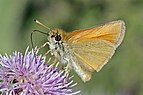 Essex Skipper (Thymelicus lineola) Sweden.jpg