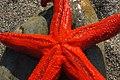Etoile-de-mer Asterias-rubens Port-Vendres France (1).jpg