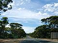 Eucalyptus salmonophloia.jpg