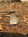Euchrysops cnejus Fabricius, 1798 – Gram Blue at Aralam Wildlife Sanctuary 2016 (15).jpg