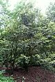 Eucryphia cordifolia (Eucryphia glutinosa) - RHS Garden Harlow Carr - North Yorkshire, England - DSC01150.jpg