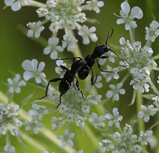 Euderces genus of insects