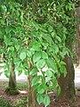 Eugenia uniflora - Jardim Botânico de São Paulo - IMG 0387.jpg