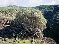 Euphorbia balsamifera (Garafía) 02.jpg