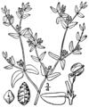 Euphorbia glyptosperma BB-1913.png