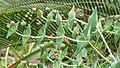 Euphorbia monteiroi, Manie van der Schijff BT.jpg