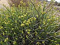 Euphorbia rhombifolia Gifberg.jpg