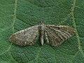 Eupithecia sp. (41351051822).jpg