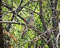 Eurasian Jay (Garrulus glandarius) (30969394168).jpg