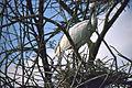 Eurasian Spoonbills (Platalea leucorodia) adult with chick (20113295824).jpg