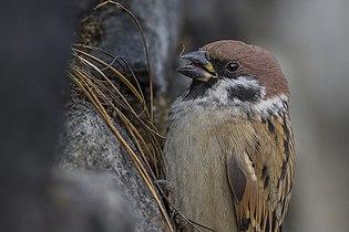 Eurasian Tree Sparrow Passer montanus Nathang Valley Sikkim India 03.11.2014