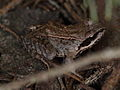 European Common Frog - Grasfrosch (7189353710).jpg