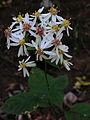 Eurybia divaricata - White Wood Aster.jpg