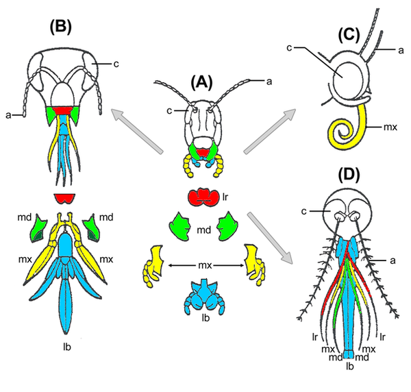 Modifications of the labrum (in red) in assorted insects. (A) grasshopper, (B) honey bee, (C) butterfly (D) mosquito. Evolution insect mouthparts coloured.png