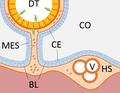 Evolution of heart - hemal system.png
