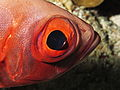 Eye of Priacanthus hamrur.JPG