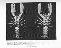 FMIB 47703 Male and Female Lobsters, showing the differences in the relative breadth of the abdomen in the two sexes This figure also.jpeg