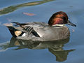 Falcated Duck (Anas falcata) RWD2.jpg