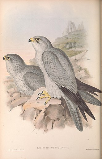 Grey falcon - Richter lithograph of immature (left) and adult specimen, 1848