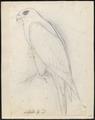Falco islandicus - 1700-1880 - Print - Iconographia Zoologica - Special Collections University of Amsterdam - UBA01 IZ18200112.tif