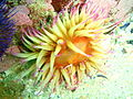 False plum anemone at Lorry Bay PB011928.JPG