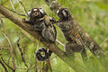 Family of Common Marmoset - REGUA - Brazil MG 9480 (12930855765).jpg
