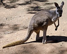 Female Red Kangaroo (Macropus rufus).jpg