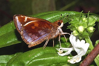 Zabulon skipper - Underside of the female