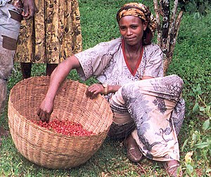 Agriculture in Ethiopia - Coffee harvest in Ethiopia. Coffee, which originated in Ethiopia, is the largest foreign exchange earner.