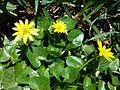 Ficaria verna (subsp. verna) sl15.jpg
