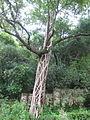 Ficus Barbata - ചേല 02.JPG