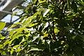 Ficus benjamina 8zz.jpg