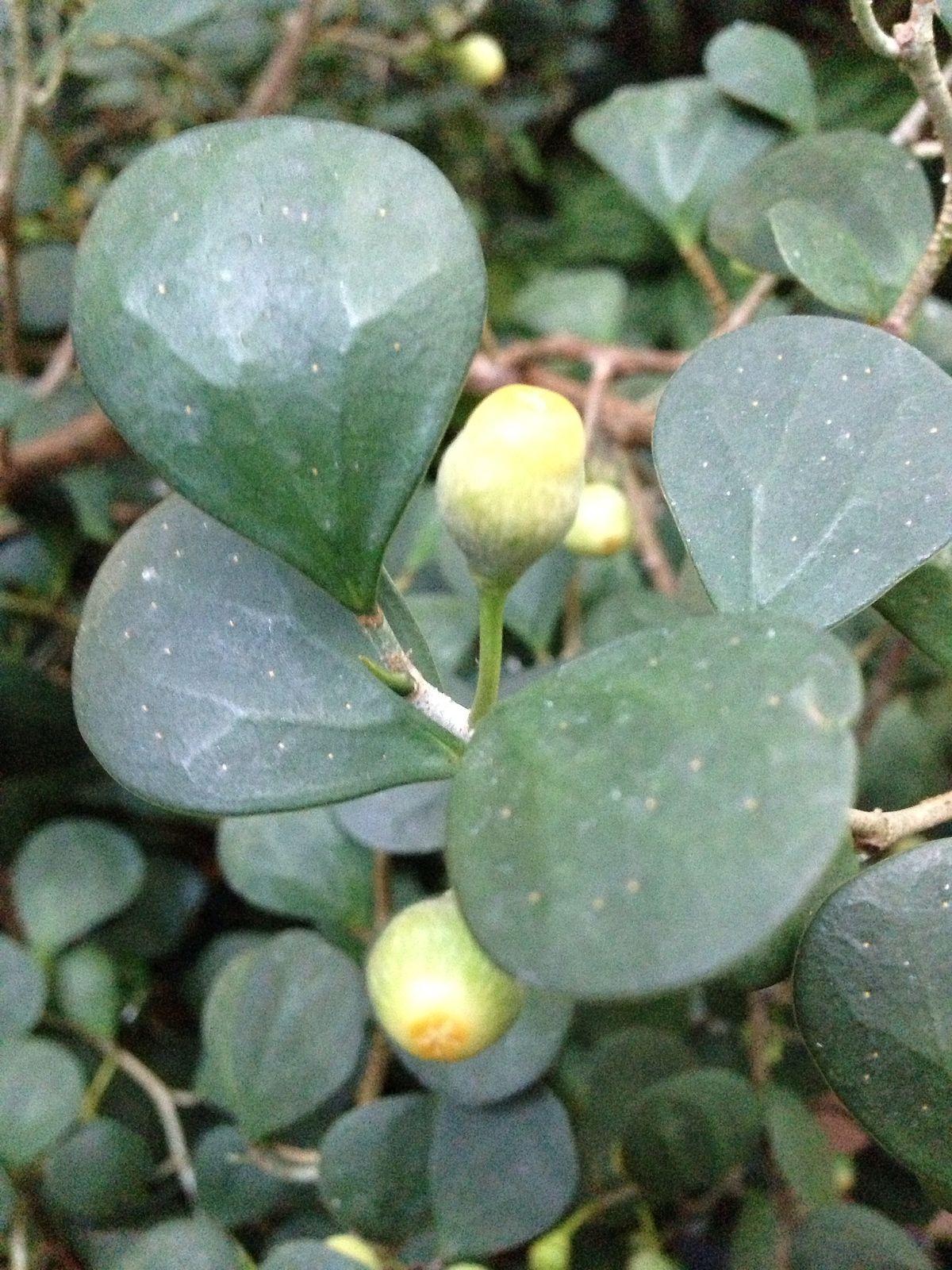 Ficus Deltoidea Wikipedia