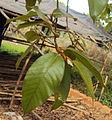 Ficus drupacea 15.JPG