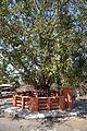 Ficus religiosa - Buddhist Monuments Site - Sanchi Hill 2013-02-21 4257.JPG