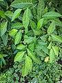 Ficus tinctoria 51.jpg
