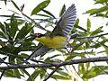 Fig bird male (9994249896).jpg
