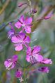 Fireweed Epilobium angustifolium flowerhead.jpg