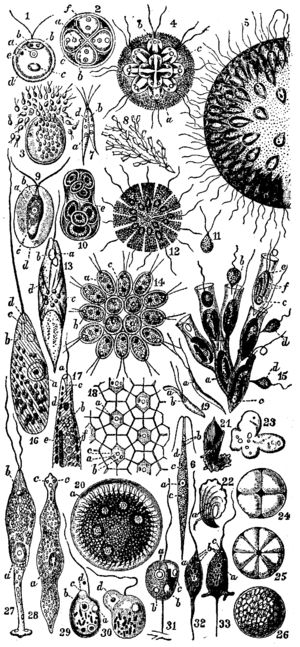 "Flagellate - ""Flagellata"" from Encyclopædia Britannica"