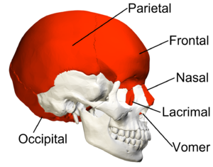 Flat bone - Image: Flat bones in skull lateral view with legend