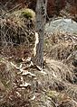 Flekkeroy south IMG 3437 beaver.JPG