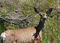 Flickr - Oregon Department of Fish & Wildlife - 0156 mule deer budeau odfw.jpg
