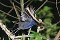 Flickr - Rainbirder - Ceylon Whistling-thrush (Myophonus blighi).jpg